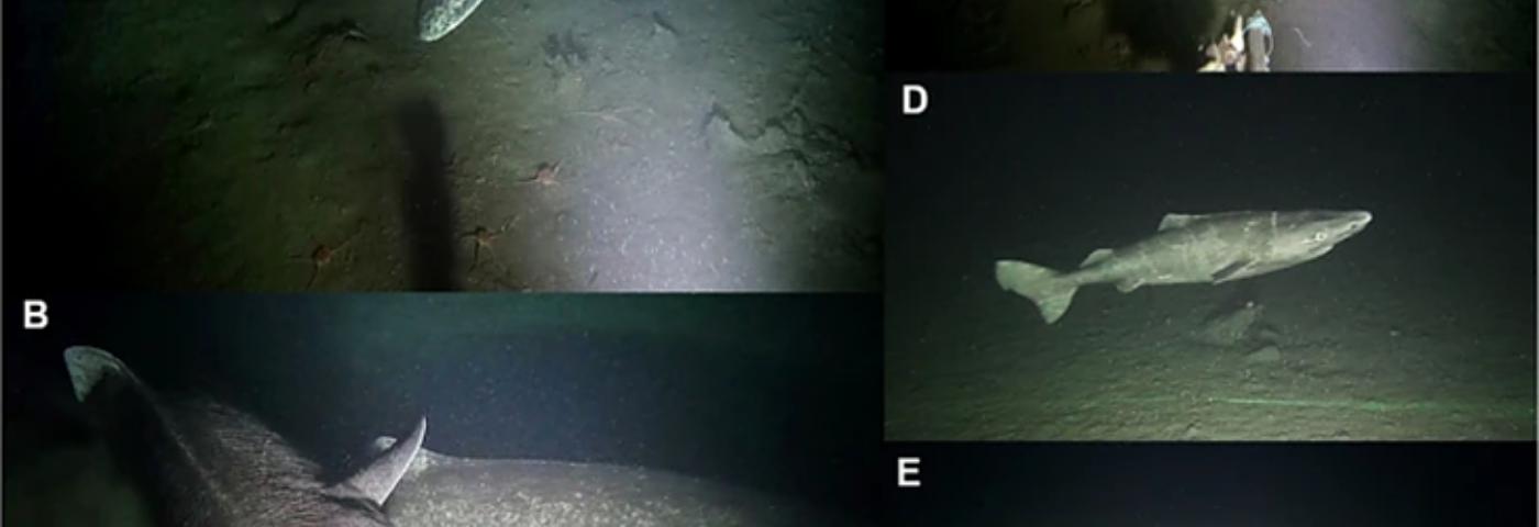 Greenland Shark Filmed Using Programmable Subsea Camera